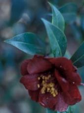 Camellia japonica 'Night Rider'